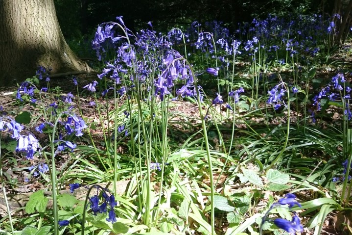 Bluebell plant.JPG