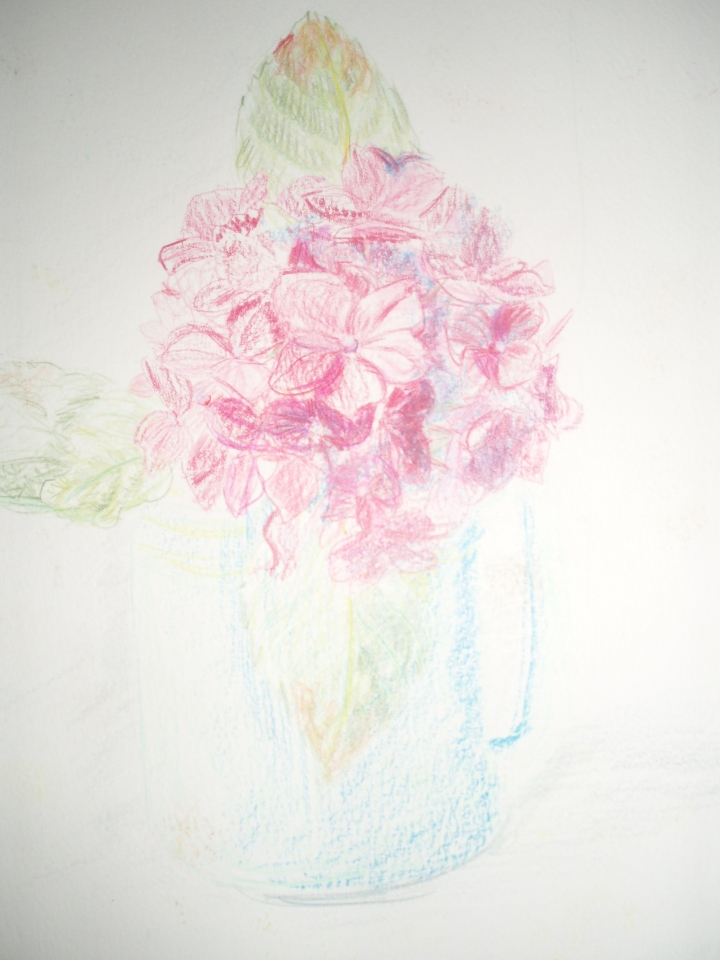 Hydrangea drawing by Amanda Jane Ogden